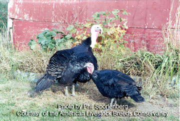 Black turkeys
