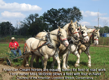 American Cream Draft Horses