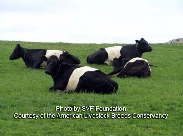 Dutch Belted cattle - photo by SVF Foundation