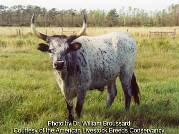 Florida Cracker steer - photo by Dr. William Broussard