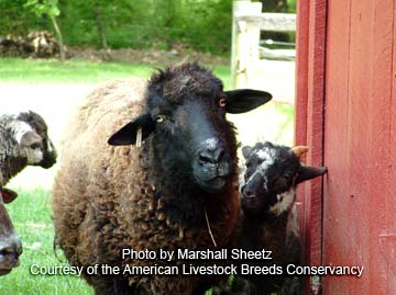 Hog Island ewe and lamb - photo by Marhsall Sheetz