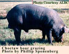 Choctaw boar grazing - photo by Phillip Sponenberg