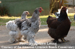 American Livestock Breeds Conservancy: Cochin Chicken