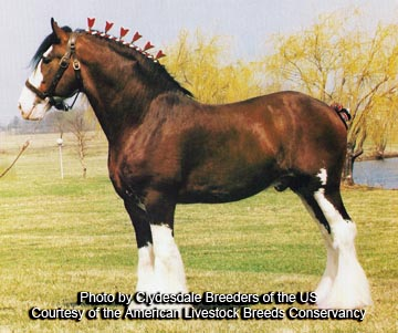 Clydesdale porn