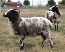 jacob sheep breeders find more