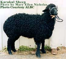 Karakul Sheep; Photo by:Mary Ellen Nicholas
