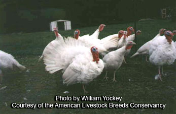 Midget White Turkeys