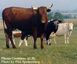 oldest breeds of cattle in