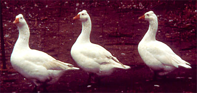 Roman Crested Goose; photo provided by the University of Wisconsin.