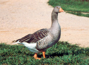 Toulouse Goose; photo by Don Bixby.