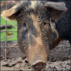 Help Save the Choctaw Hog!